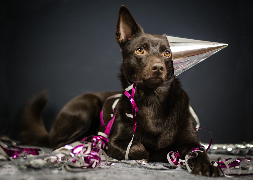 Hund med partyhatt på sned omgiven av glitter, premacks princip tar på krafterna