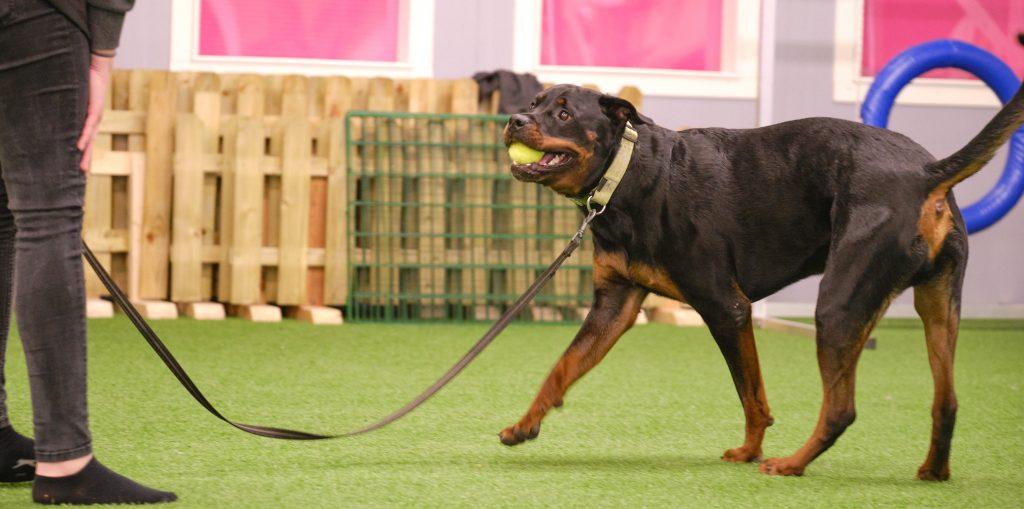 Bild från hundkurs träna hund, en hund med boll i munnen. Rottweiler.